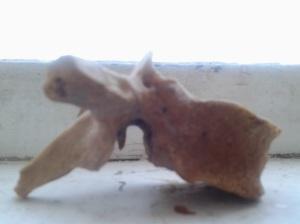 O vertebră dorsală; fotografiile mele; diverse; din anticariatul cu obiecte din altă epocă; Chișinău; 23.03.2014; 18:34; publicat de Bot Eugen.
